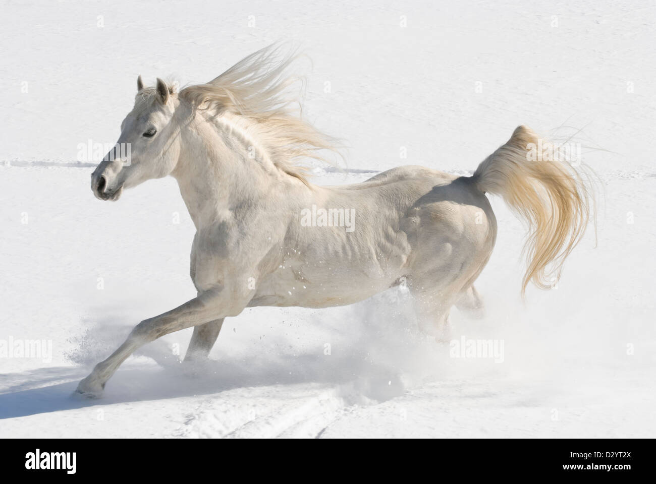 White horse running free in new fallen snow with mane and tail flying, a purebred Arabian stallion in motion at - Stock Image