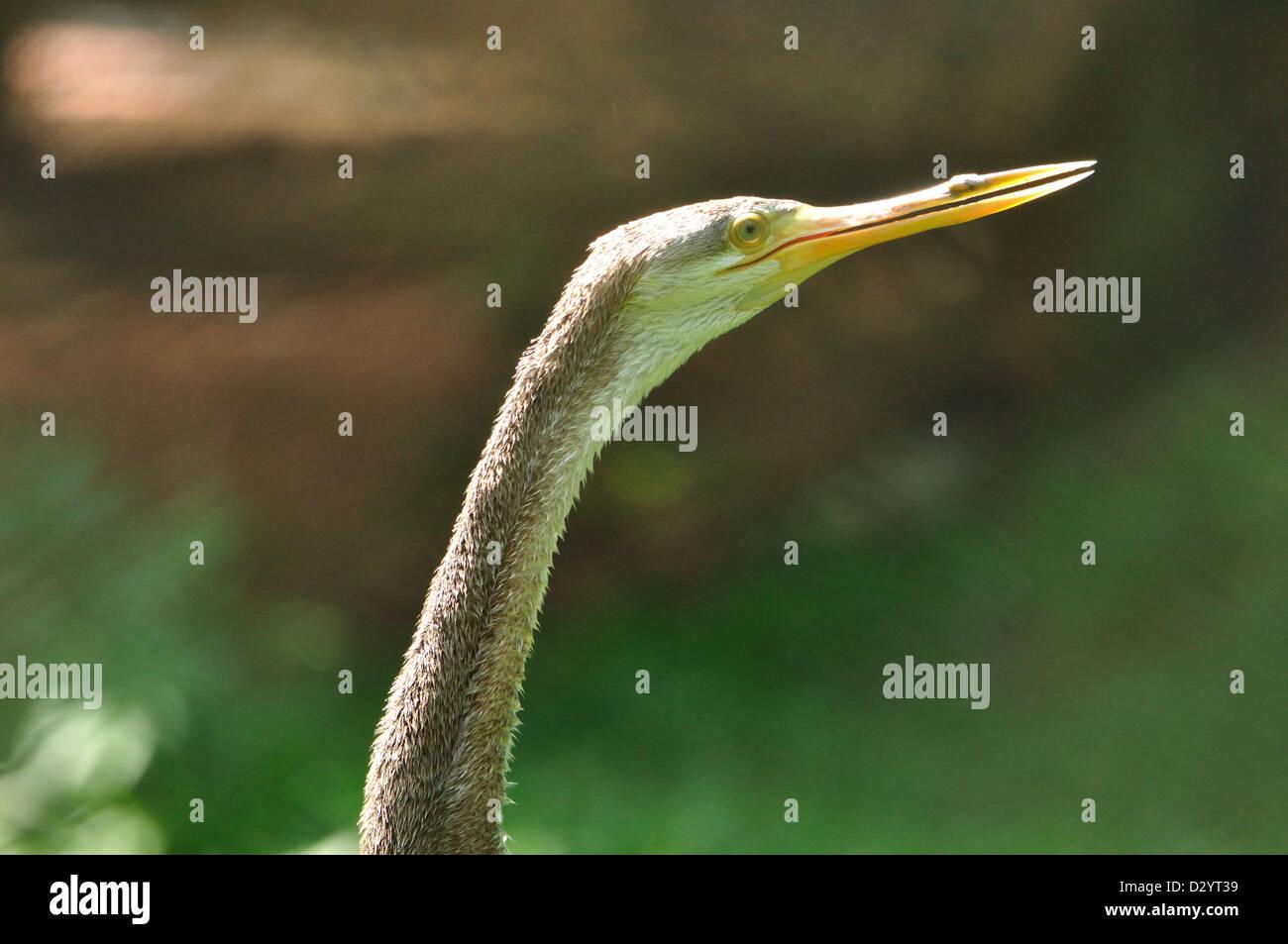 Indian Darter ( Anhinga rufa ) - Stock Image