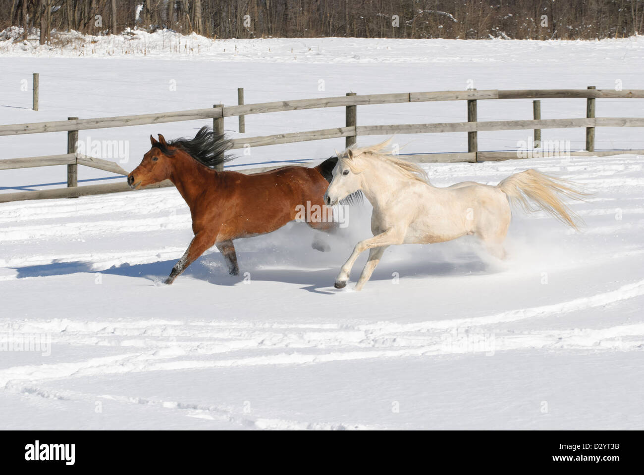Horses running through new snow in sunny farm field, a mare and stallion Arabian purebreds. - Stock Image