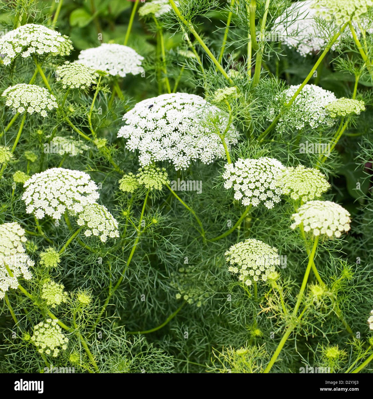 Laceflowers or ammi majus in summer garden Stock Photo