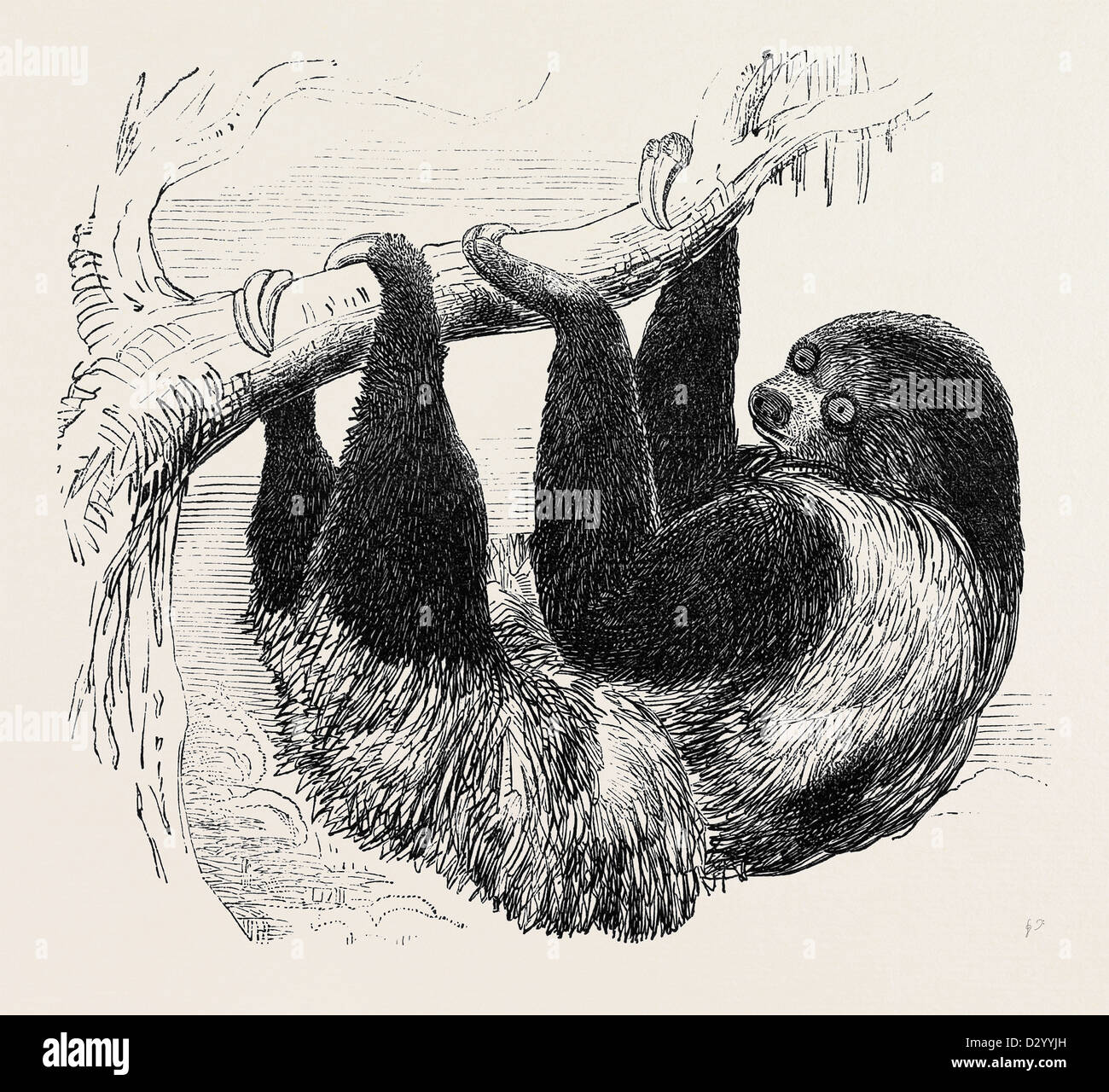 SLOTH AT THE ZOOLOGICAL GARDENS, REGENT'S PARK Stock Photo