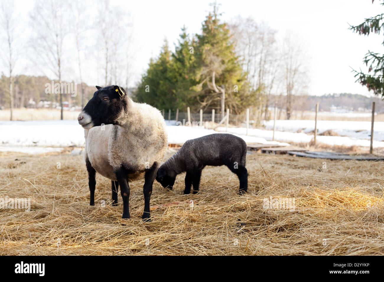 Suffolk sheep and her lamb Stock Photo