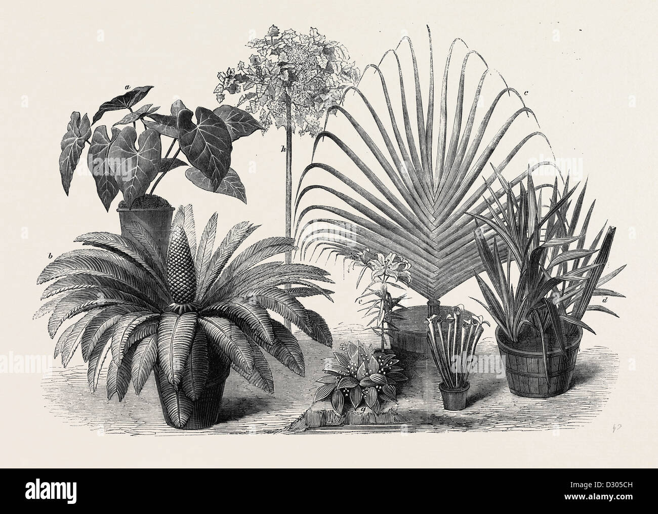 GROUP OF RARE PLANTS AT THE LATE INTERNATIONAL HORTICULTURAL EXHIBITION SOUTH KENSINGTON LONDON UK 1866 - Stock Image