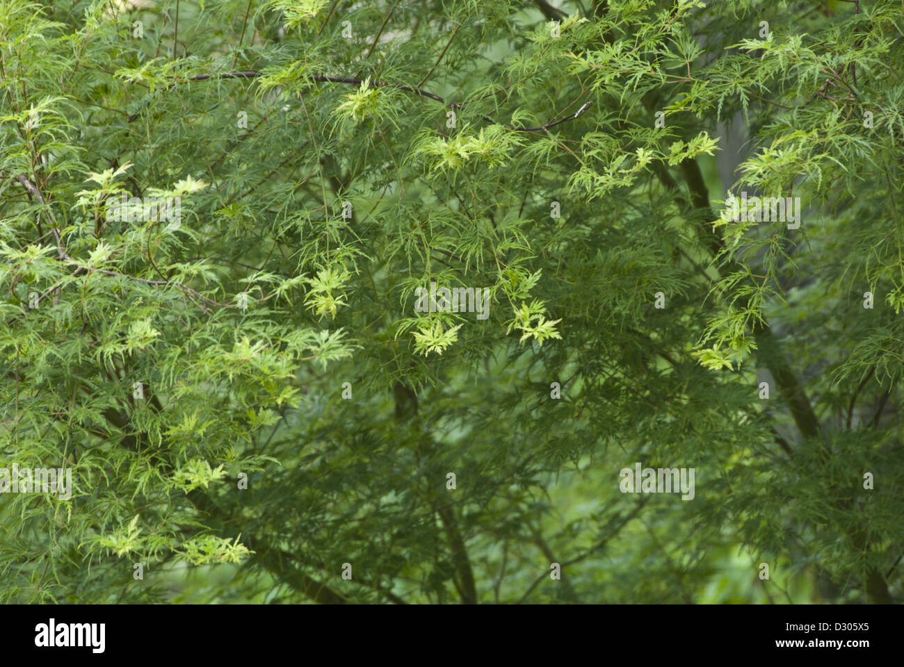 New growth in the Spring , Japanese Maple, Acer palmatum Seiryu, Asheville, North Carolina, USA - Stock Image
