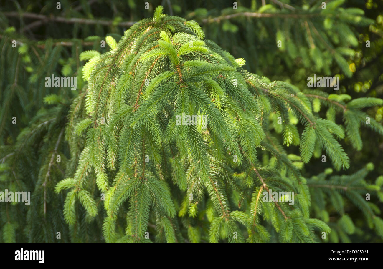 Norway Spruce, Picea abies, in Asheville, North Carolina, USA - Stock Image