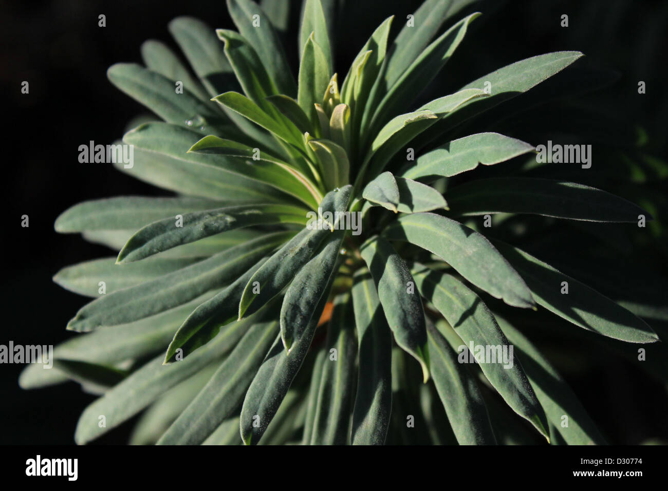 Pointy green plant taken in Riversley Park. - Stock Image
