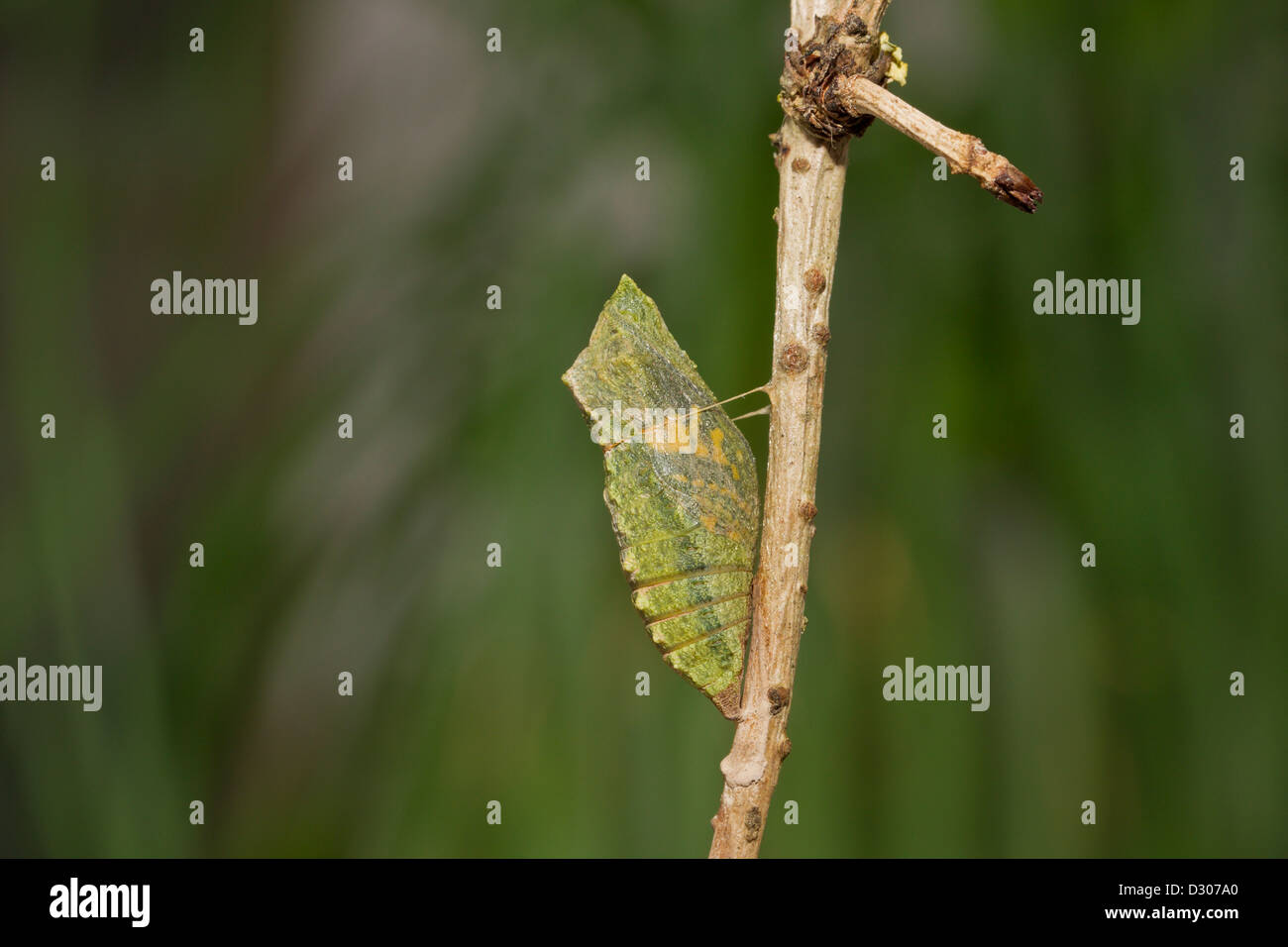 Schwalbenschwanz Puppe, Papilio machaon, Old World swallowtail cocoon - Stock Image