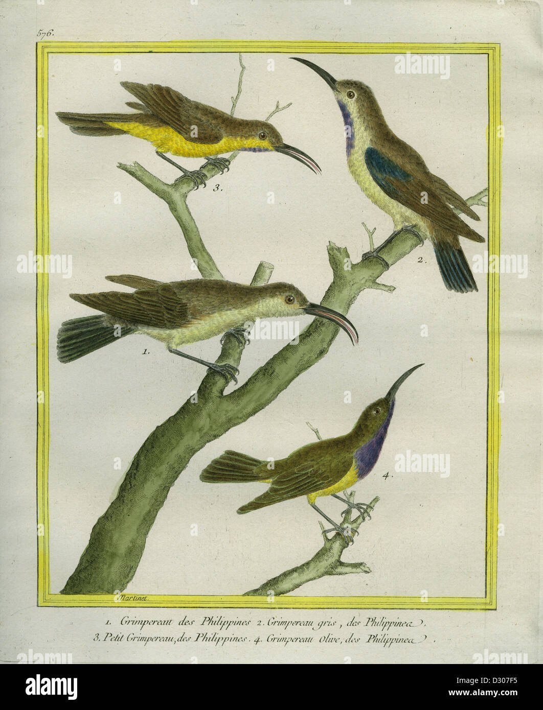 Tree creeper, Brown Treecreeper 'Natural History of birds, fish, insects, and reptiles' colored and engraved - Stock Image