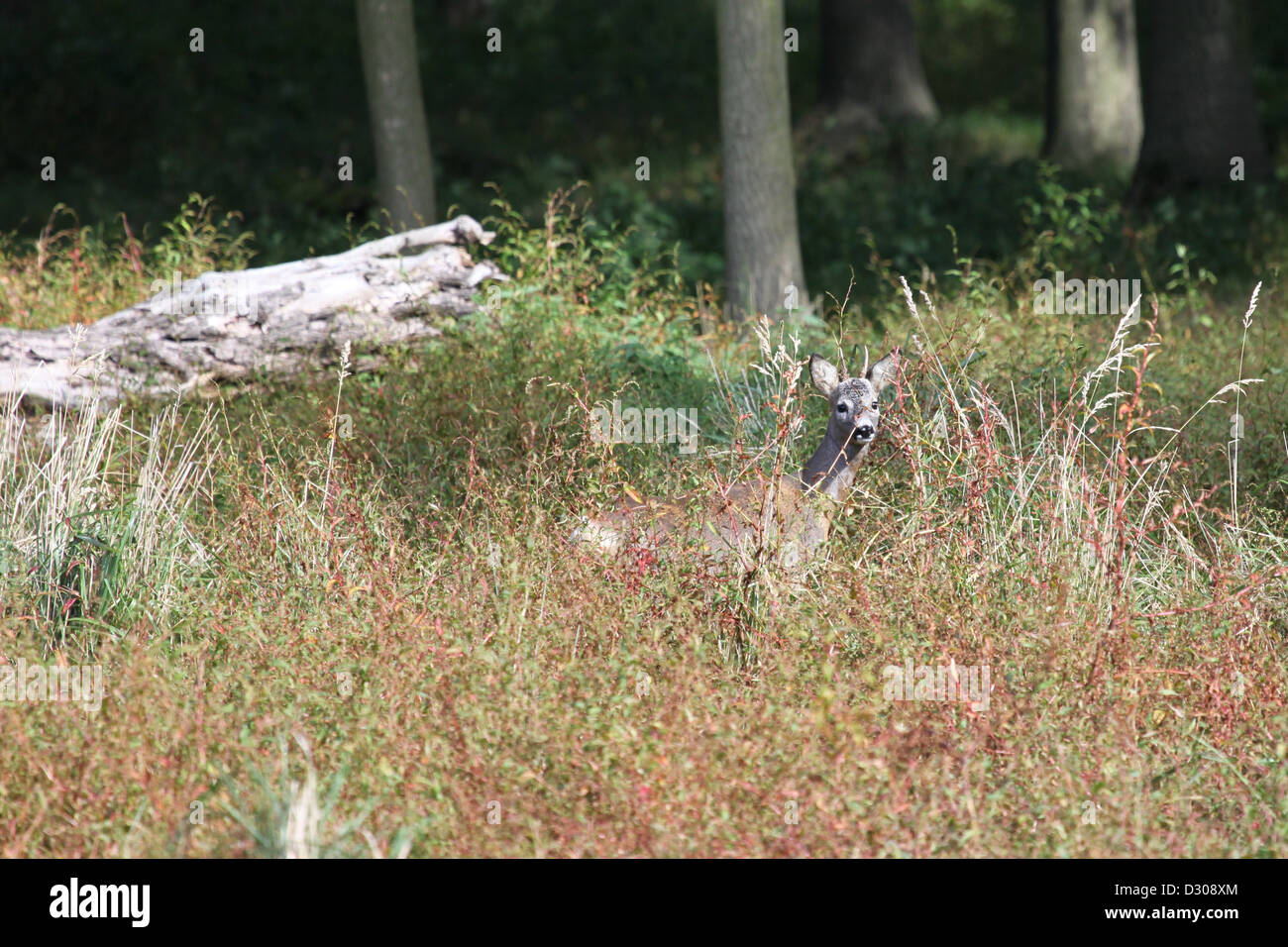Roebuck hiding in grass - Stock Image