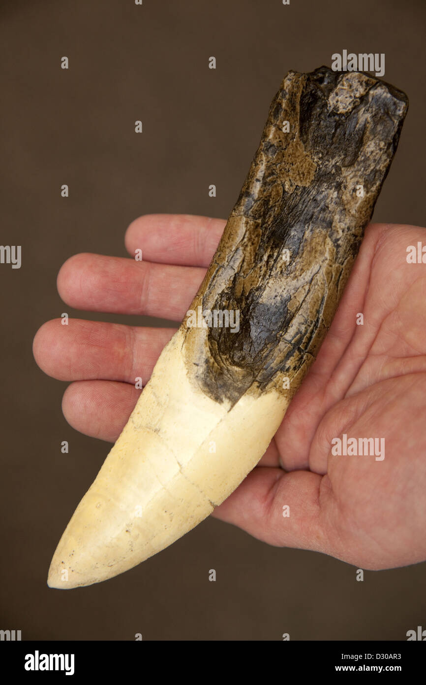 Solid resin cast of a Gigantosaurus dinosaur tooth - Stock Image