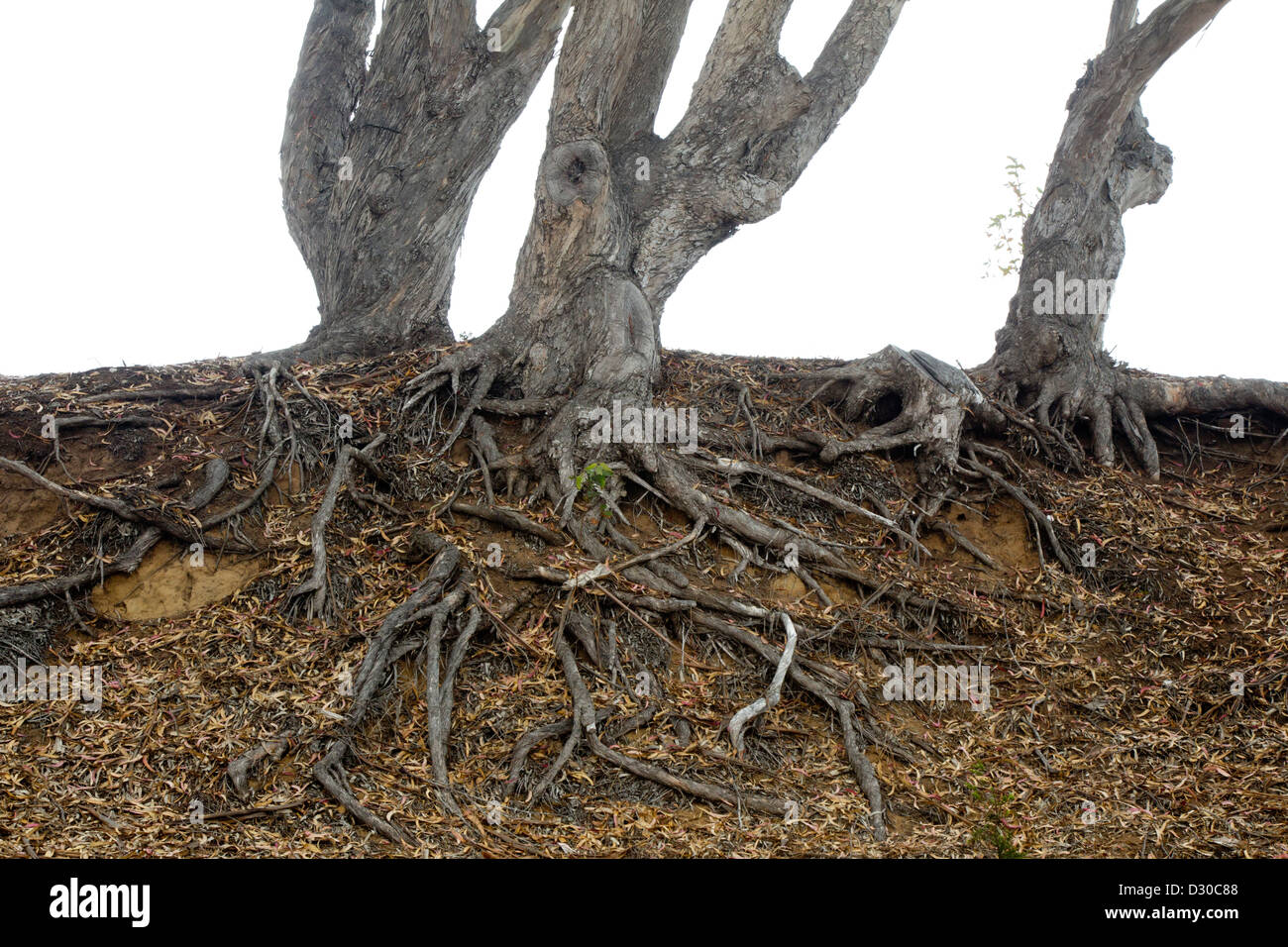 Tangle of Tree Roots - Stock Image