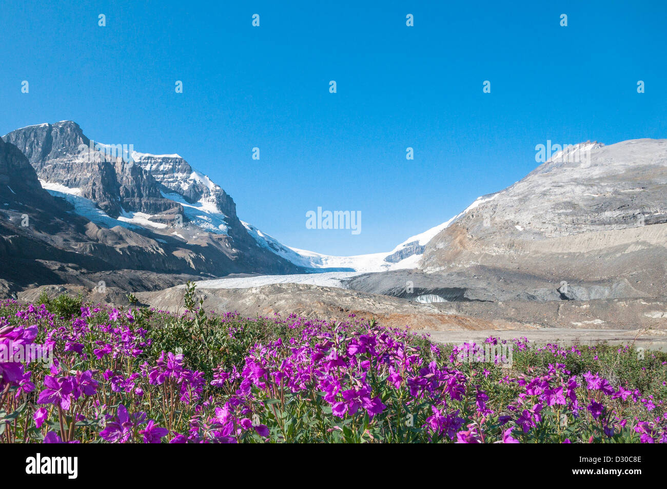 Wildflowers and Athabasca Icefields Glacier, , Jasper National Park, Alberta, Canada - Stock Image