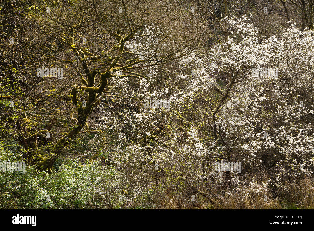 Blackthorn in flower, Manifold Valley, Peak District National Park, Staffordshire, England Stock Photo
