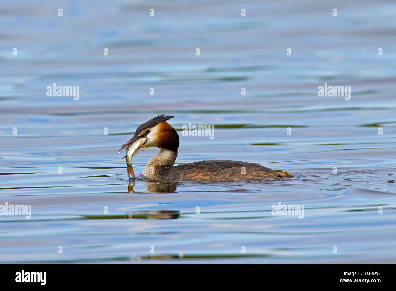 Great Crested Grebe (Podiceps cristatus) eating fish while swimming in lake - Stock Image