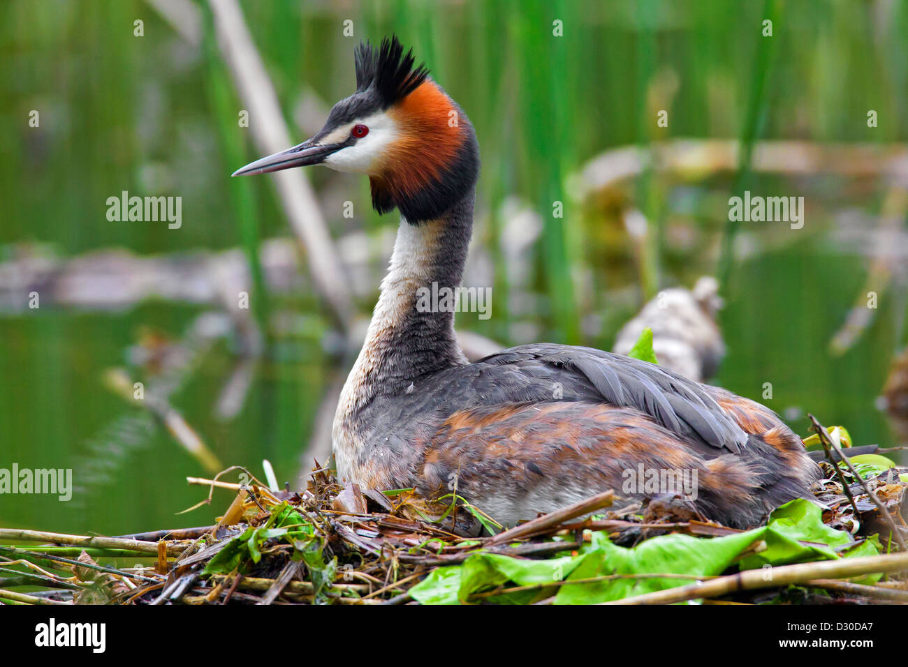 Great Crested Grebe (Podiceps cristatus) breeding on nest in lake - Stock Image