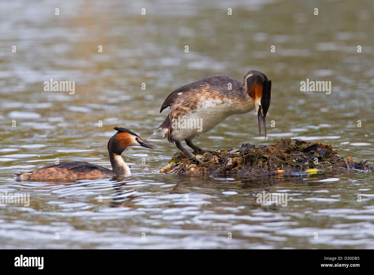 Great Crested Grebe (Podiceps cristatus) pair entering nest made of rotten vegetation in lake - Stock Image
