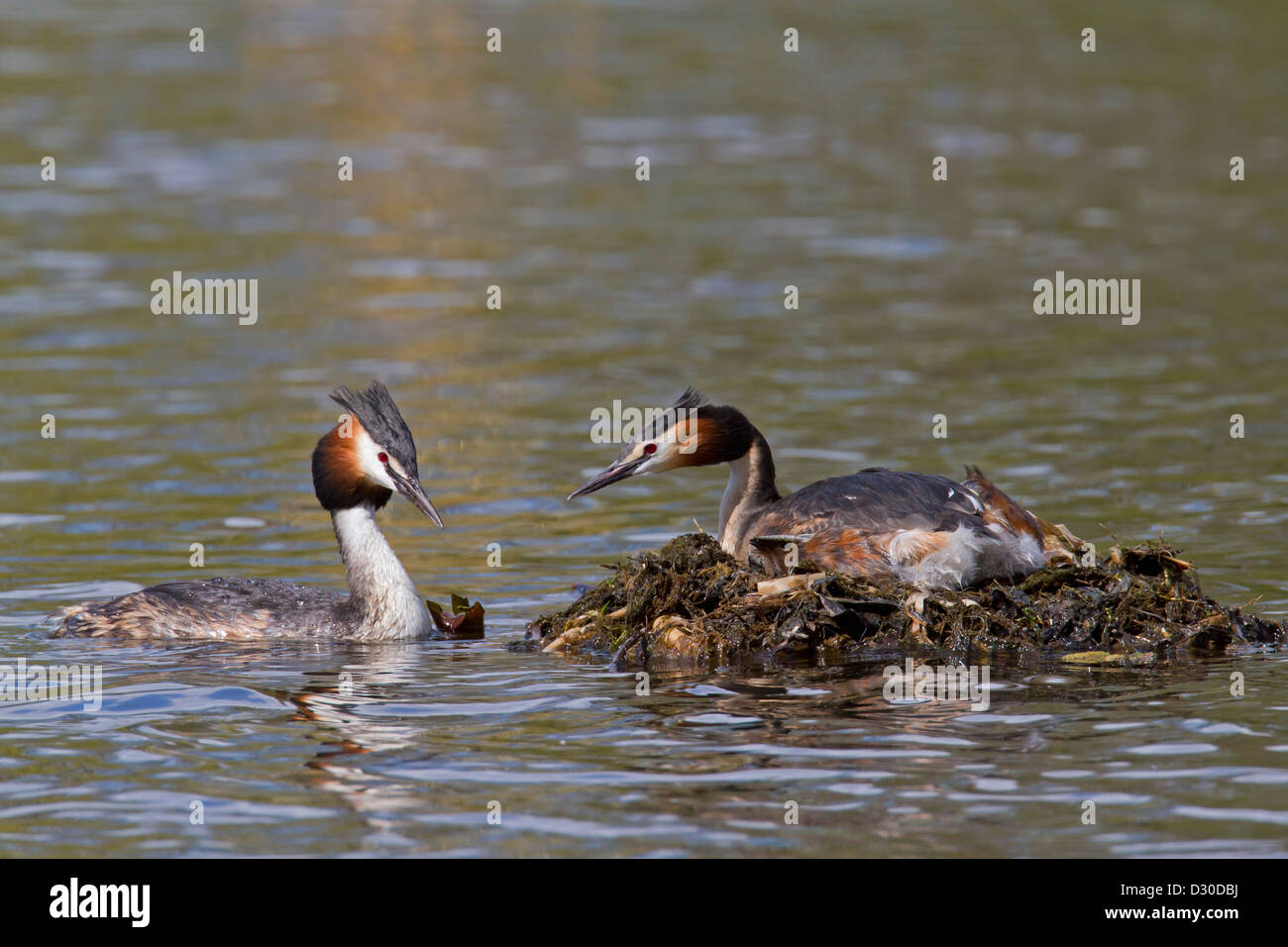 Great Crested Grebe (Podiceps cristatus) male visiting female breeding on nest in lake - Stock Image