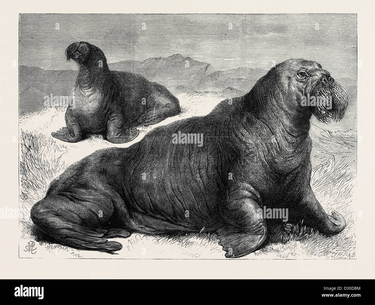 THE WALRUS RECENTLY ADDED TO THE COLLECTION OF THE ZOOLOGICAL SOCIETY IN REGENT'S PARK LONDON UK 1867 - Stock Image