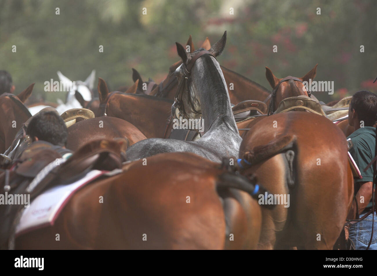 Dubai, United Arab Emirates, a group of polo horses - Stock Image