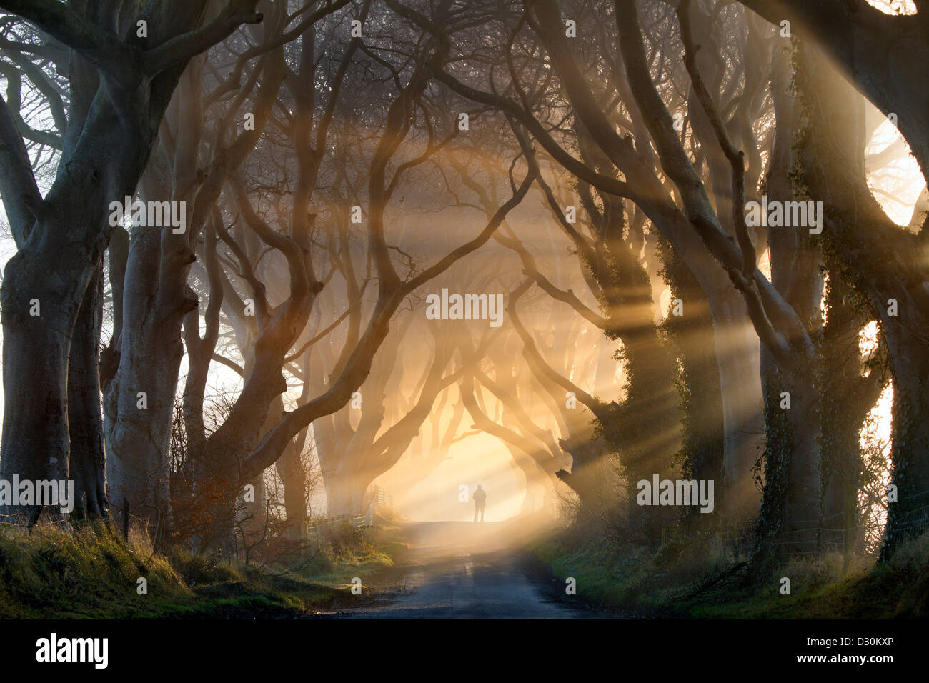 A silhouetted figure adds to the shrouded mood as the rays of sun light lift the fog on the Dark Hedges in county - Stock Image