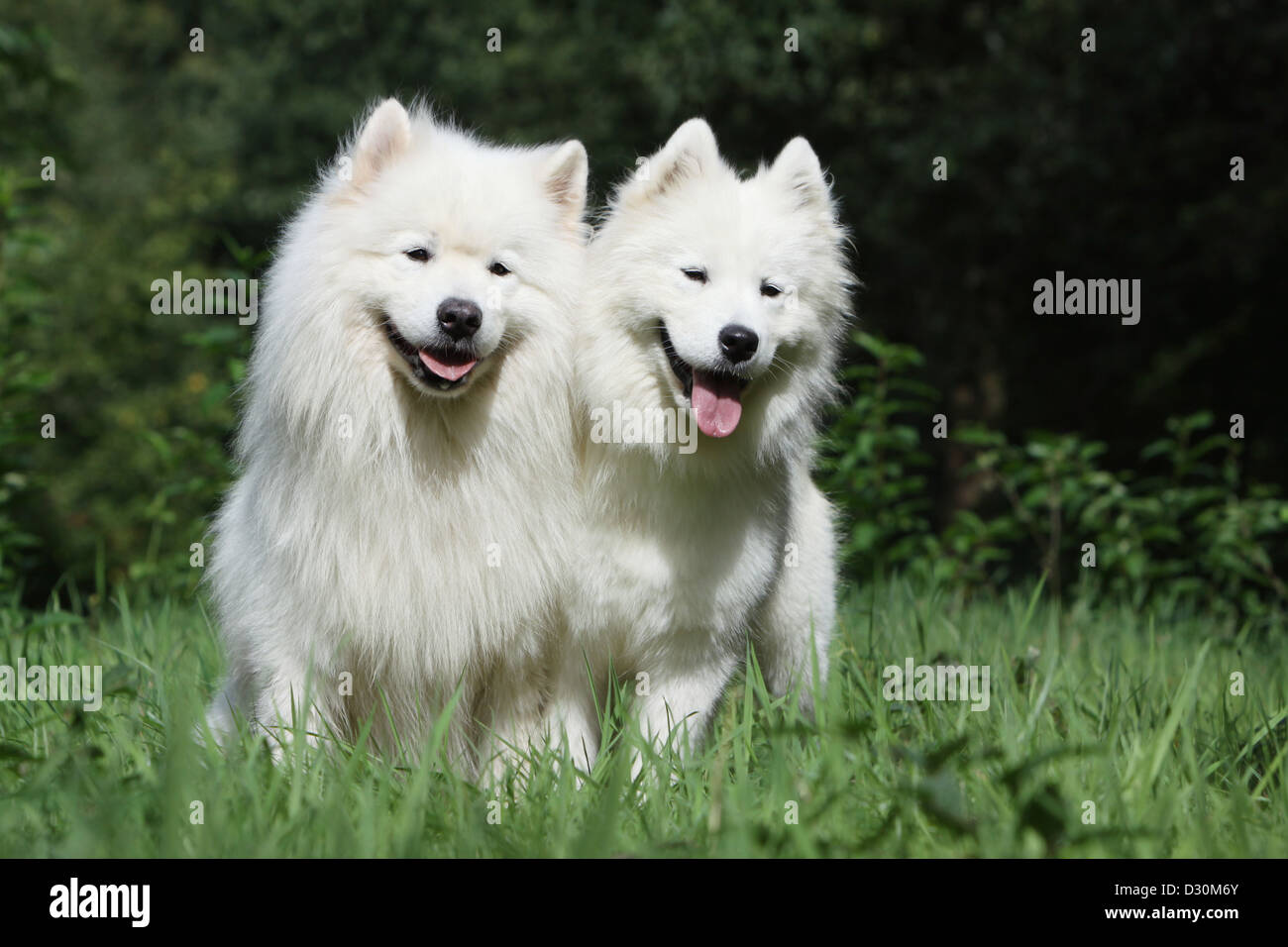 Dog Samoyed / Samojede two adults in a meadow Stock Photo