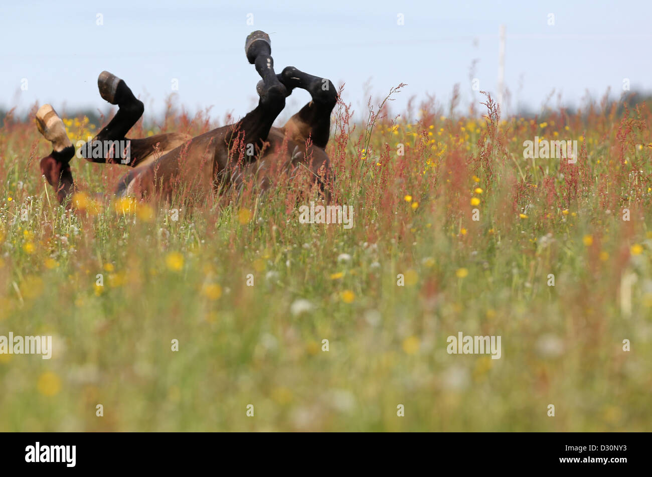 Etzean, Germany, horse sinks during rolling in the grass - Stock Image