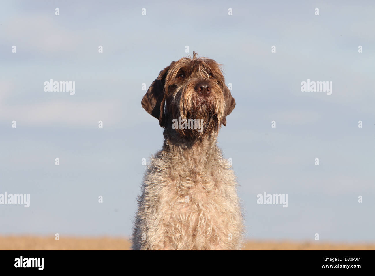 Wirehaired Pointing Griffons Stock Photos & Wirehaired Pointing ...