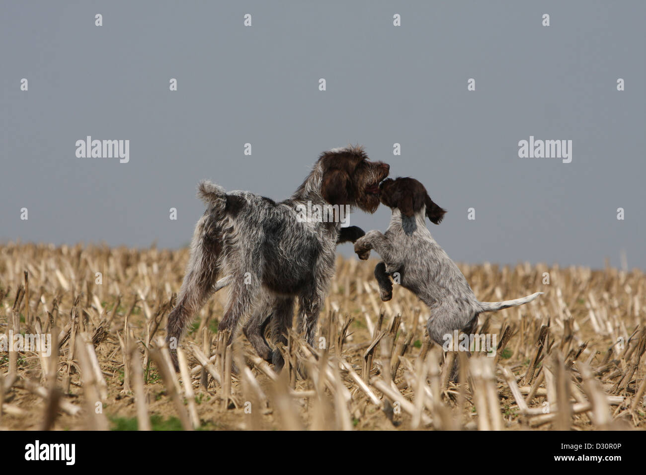 Dog Wirehaired Pointing Griffon / Korthals Griffon adult and puppy ...