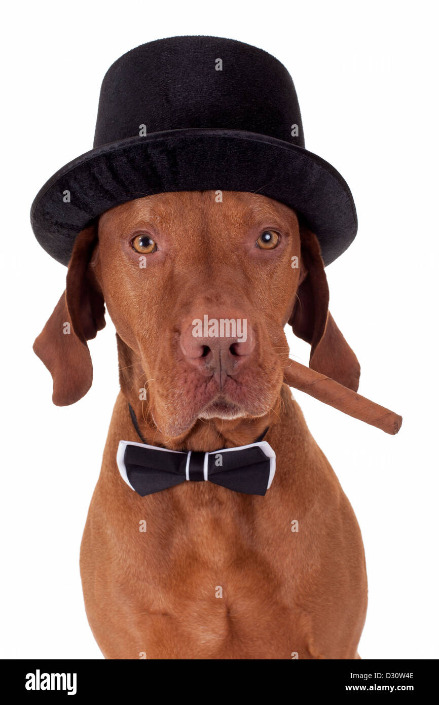 dog with hat and bow tie holding a cigar in mouth on white background - Stock Image