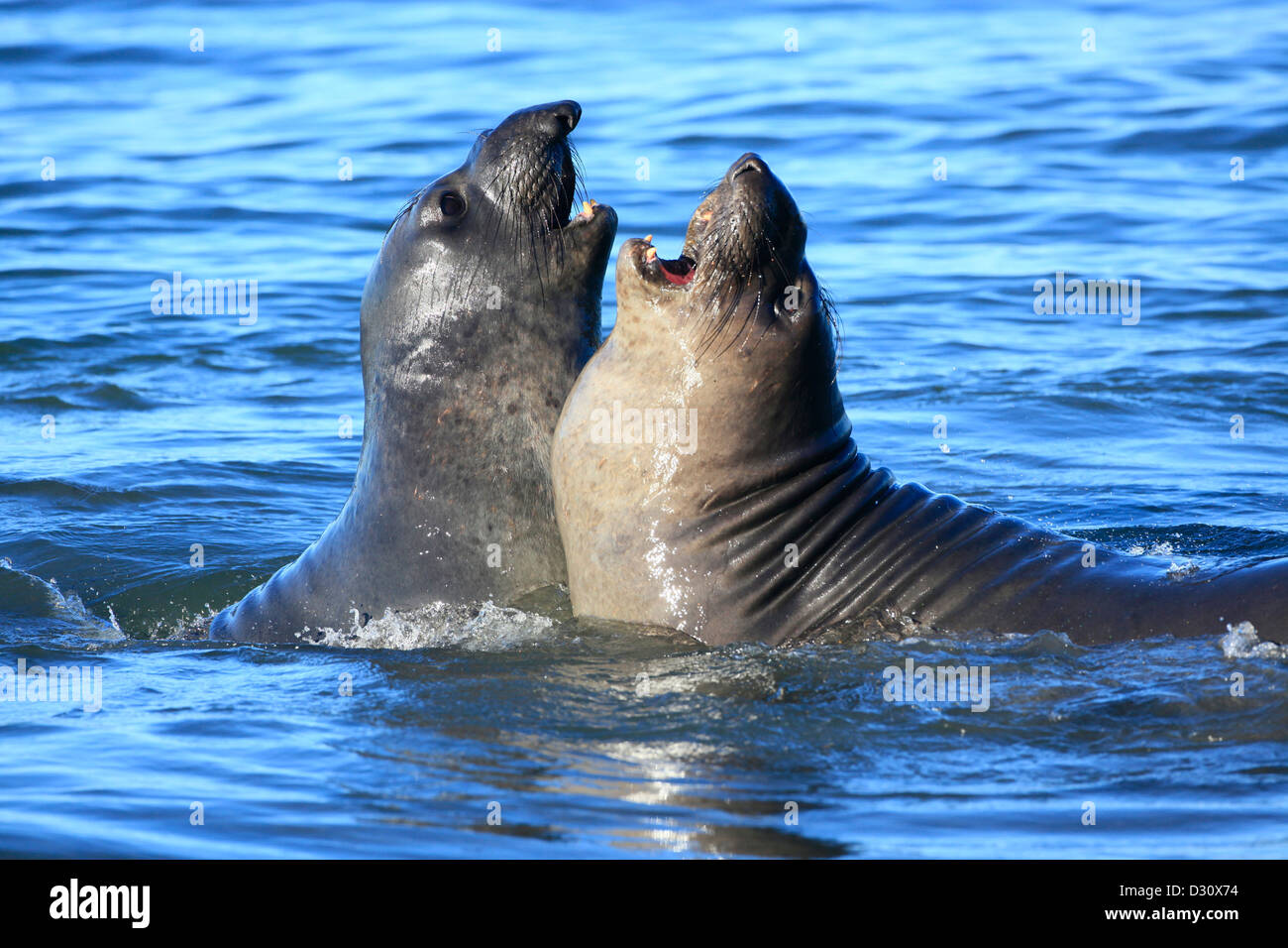 A pair of male elephant seals fight in the surf at the Ano Nuevo rookery in northern California. - Stock Image