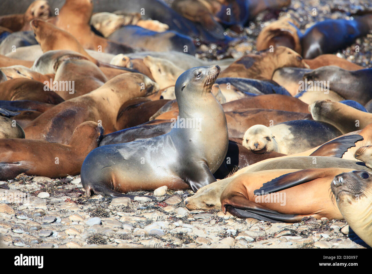 A colony of sea lions in California - Stock Image