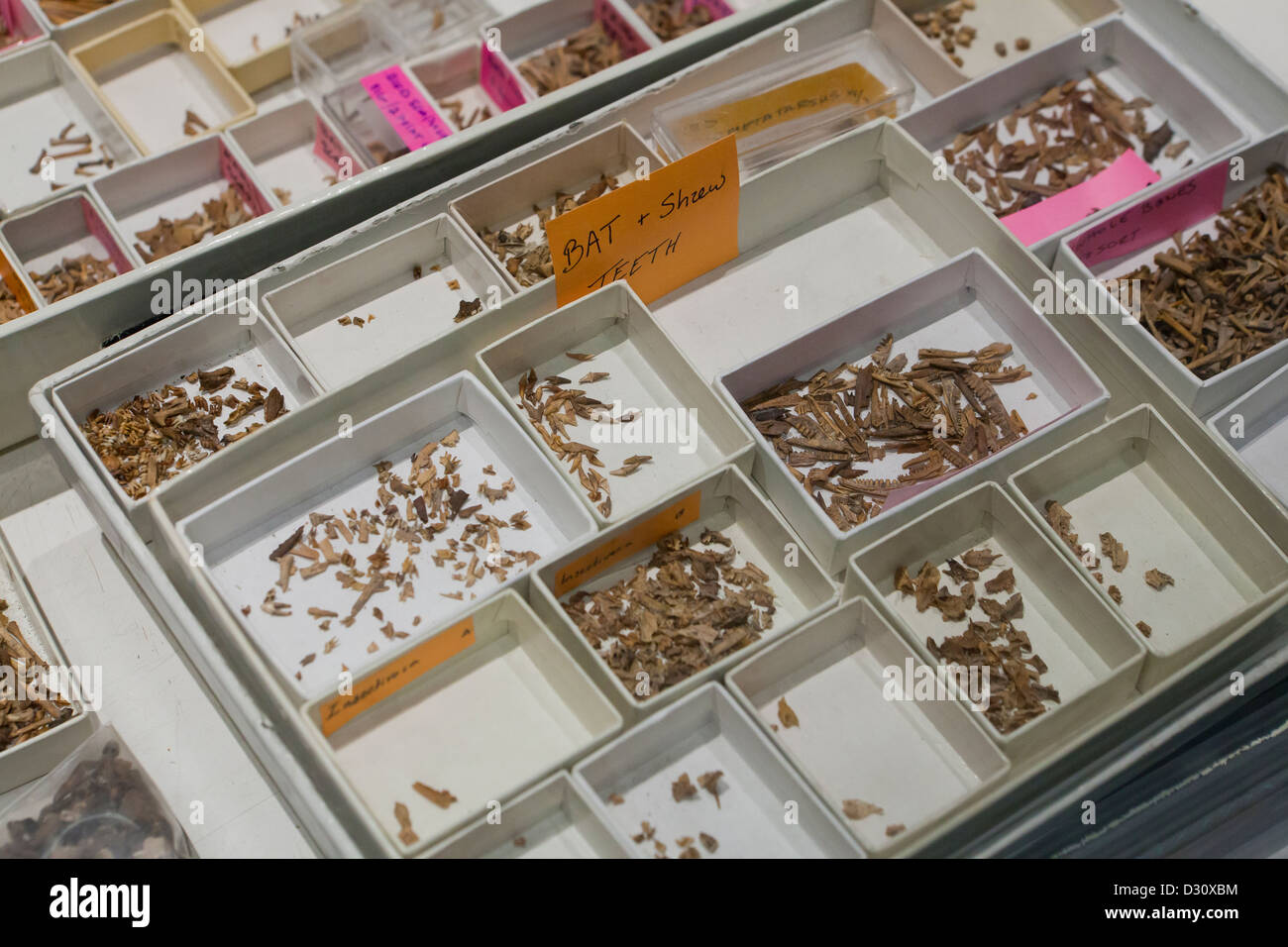 Sorted small fossil bones - Stock Image