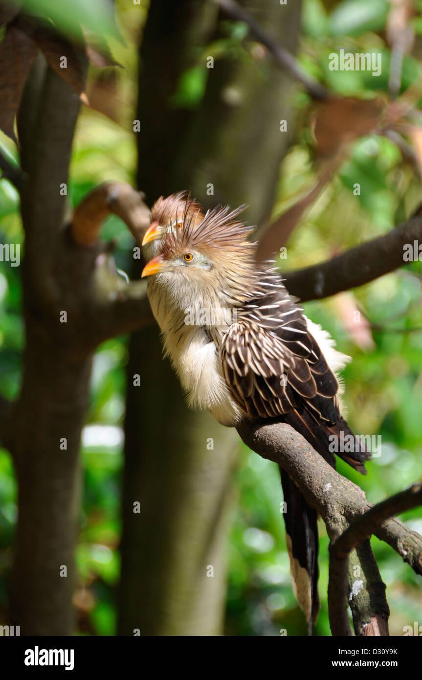 Guira Cuckoo (Gui. g.) - Stock Image