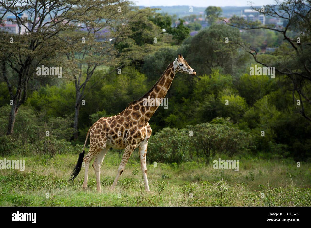 Rothschild Giraffe (Giraffa camelopardalis rothschildi), AFEW Giraffe Centre, Nairobi, Kenya - Stock Image