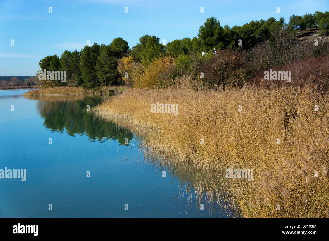 Reeds on a riverbank, Bassin du Realtor, France - Stock Image
