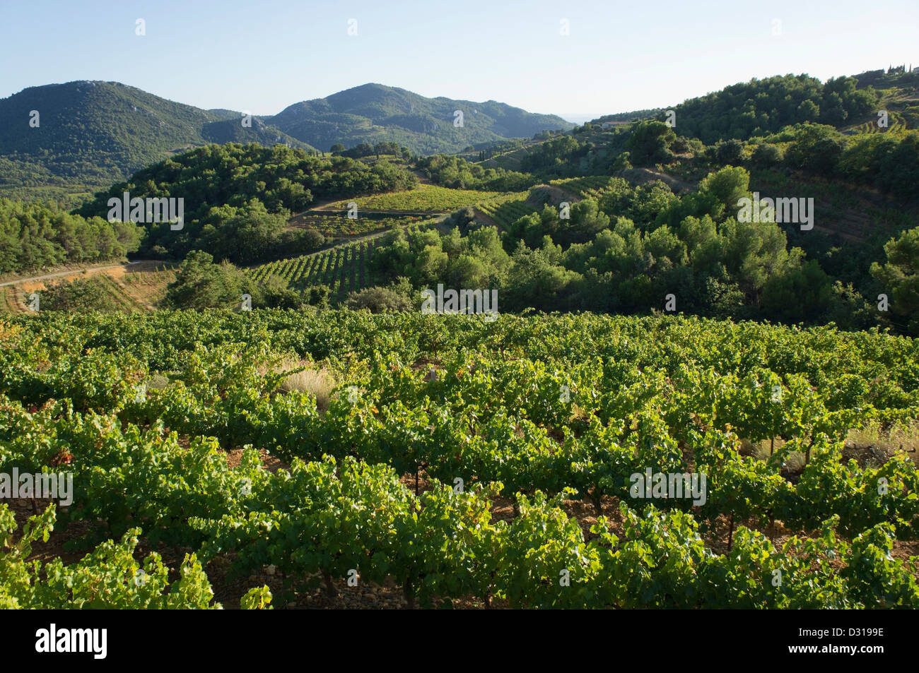 Vineyards during harvest in autumn, Beaumes de Venise, Rhone Valley, France - Stock Image