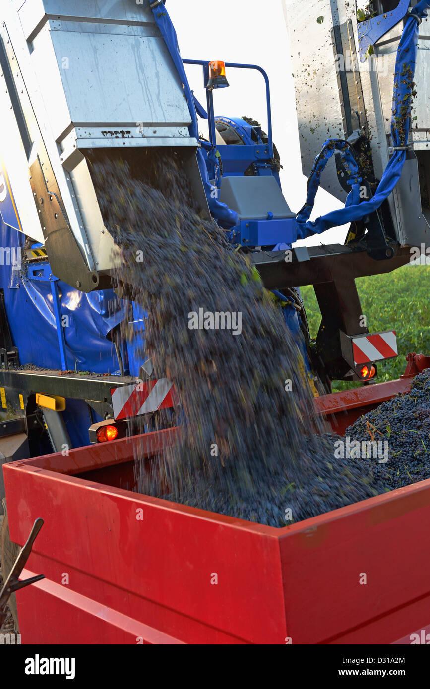 Grape harvest machine emptying grapes in vineyards near Sainte-Victoire mountain, Trets, Cote du Rhone, France - Stock Image