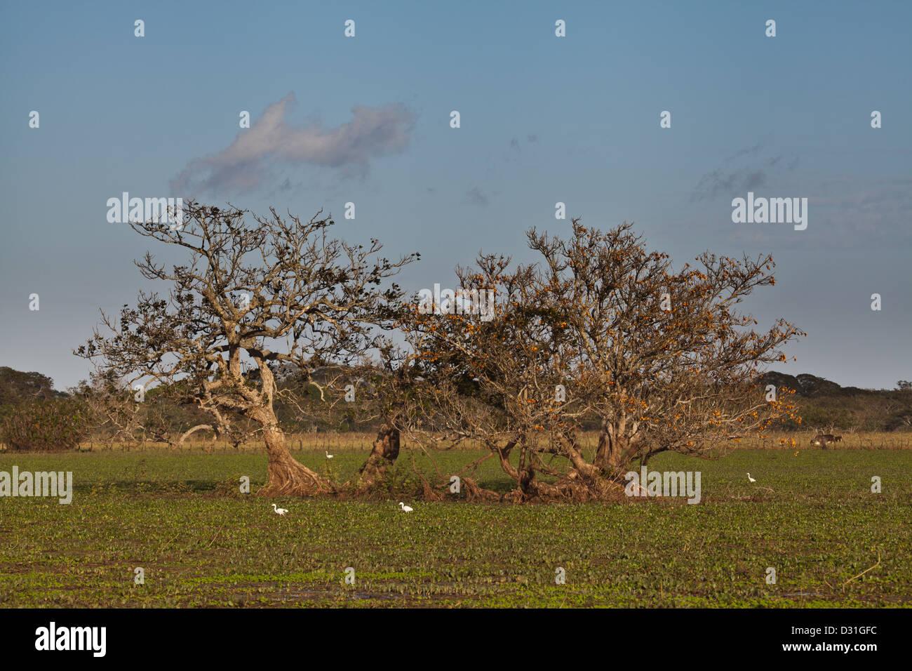 Trees in the Cienagas las Macanas wetlands, Herrera province, Republic of Panama. Stock Photo