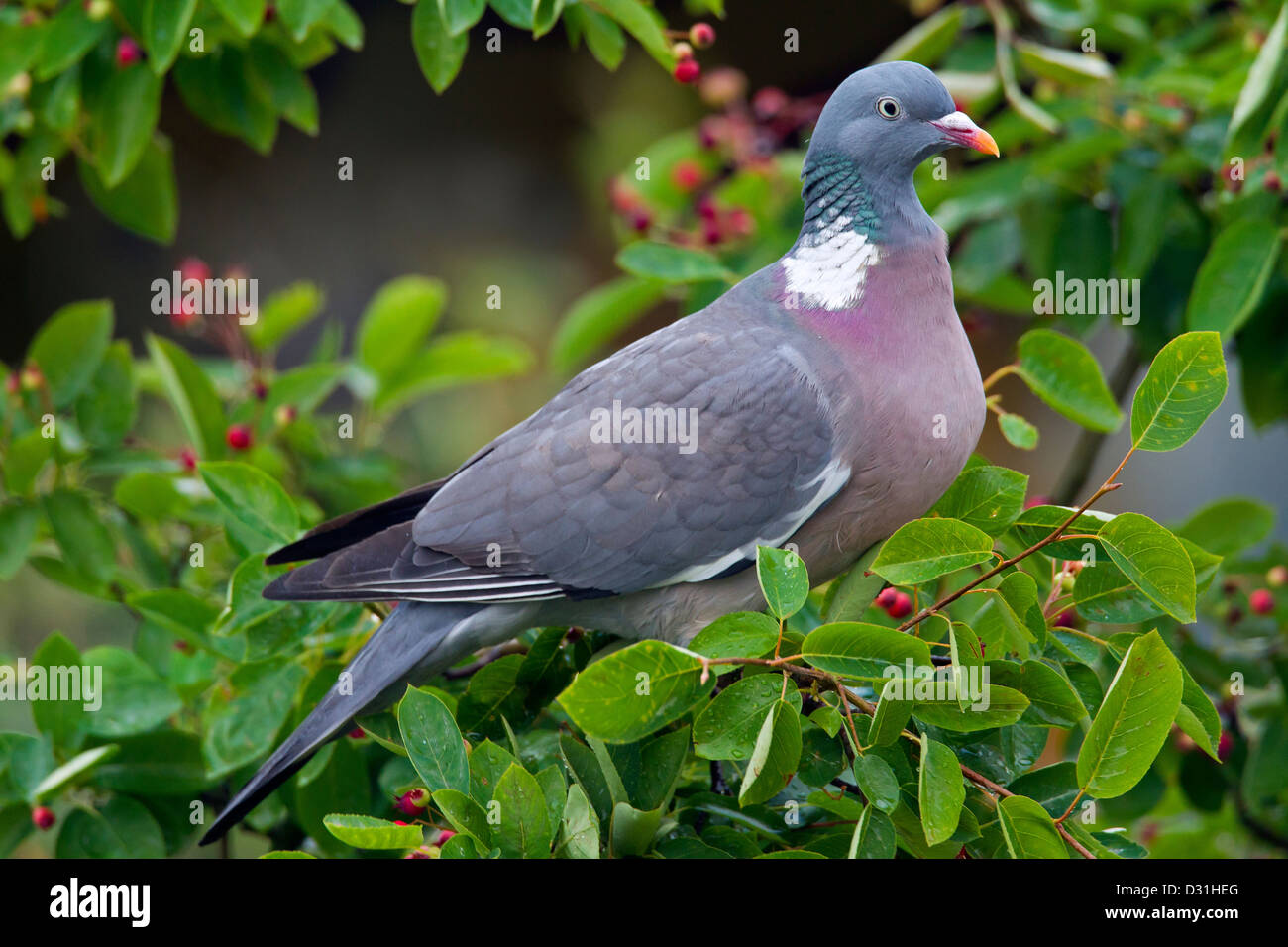Common Wood Pigeon (Columba palumbus) perched on branch amongst leaves in tree - Stock Image
