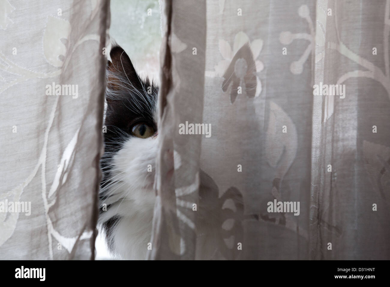 Black and white domestic cat behind curtain. - Stock Image