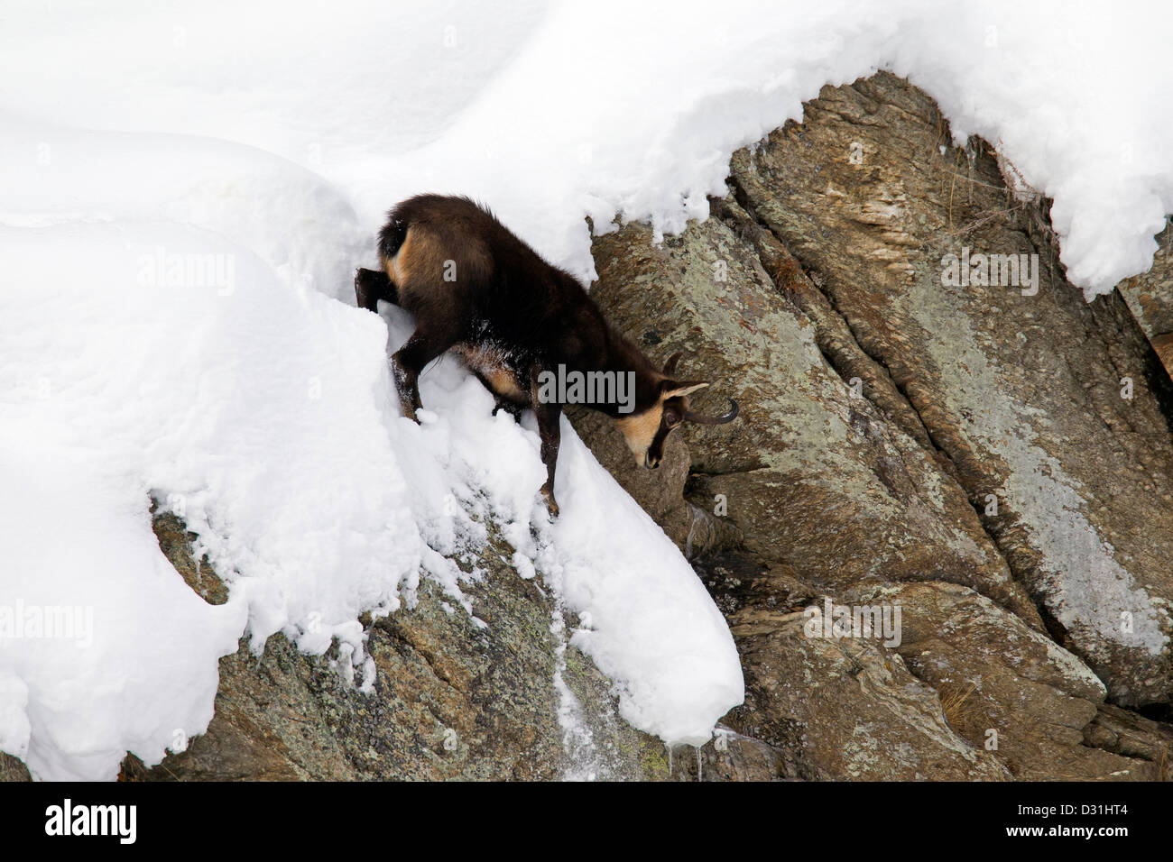 Chamois (Rupicapra rupicapra) coming down sheer rock face in the snow in winter - Stock Image