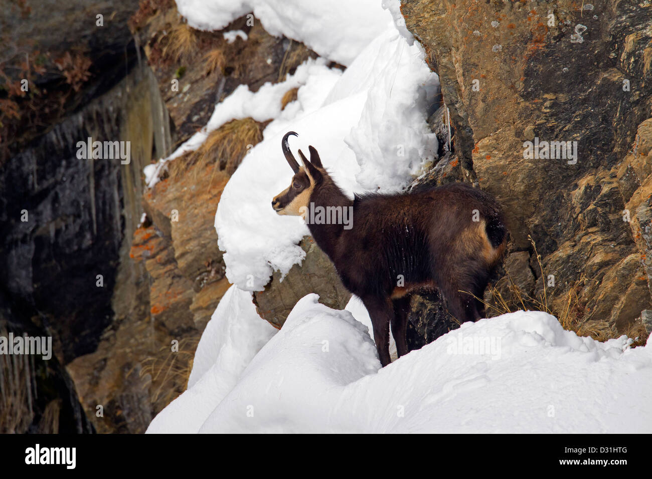 Chamois (Rupicapra rupicapra) in sheer rock face in the snow in winter - Stock Image