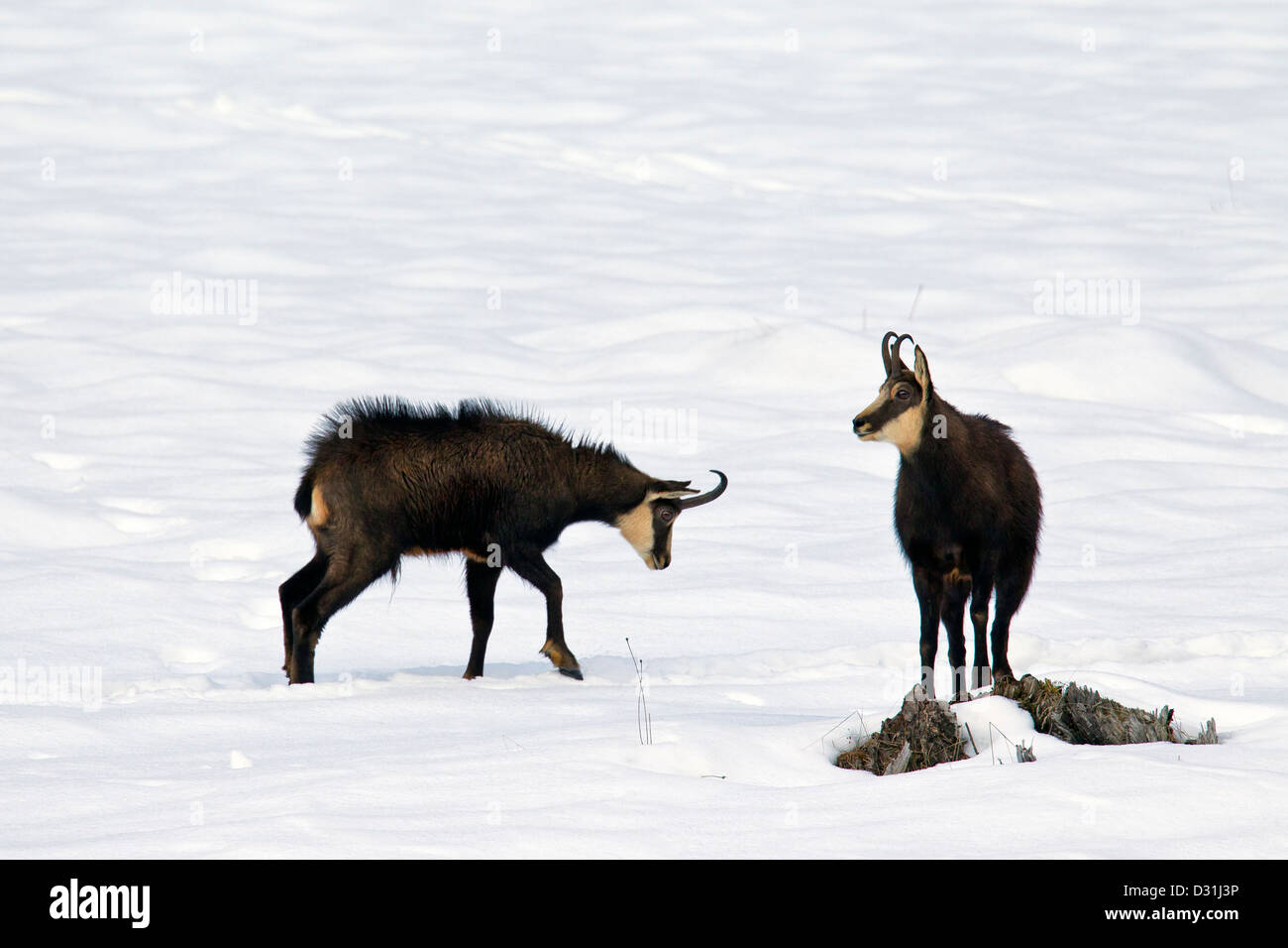 Two Chamois (Rupicapra rupicapra) bucks during the rut in the snow in winter - Stock Image