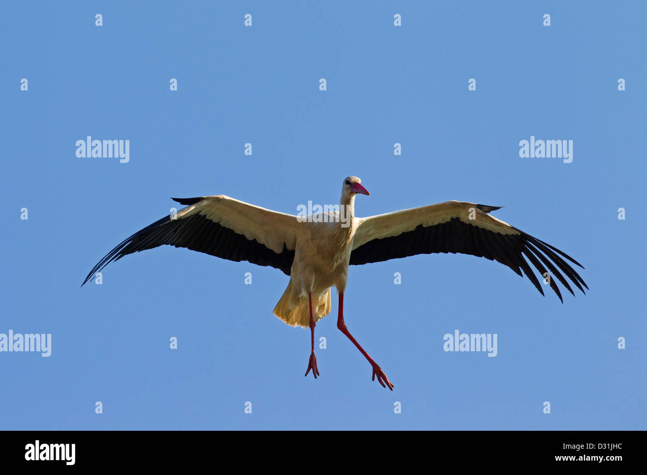 White Stork (Ciconia ciconia) in flight landing with wings spread and dangling feet against blue sky Stock Photo