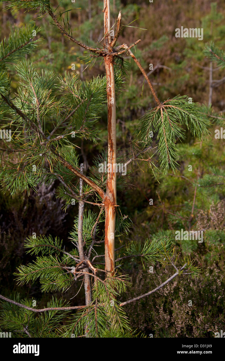 Damaged spruce tree with bark stripped by moose (Alces alces) in coniferous forest, Sweden - Stock Image