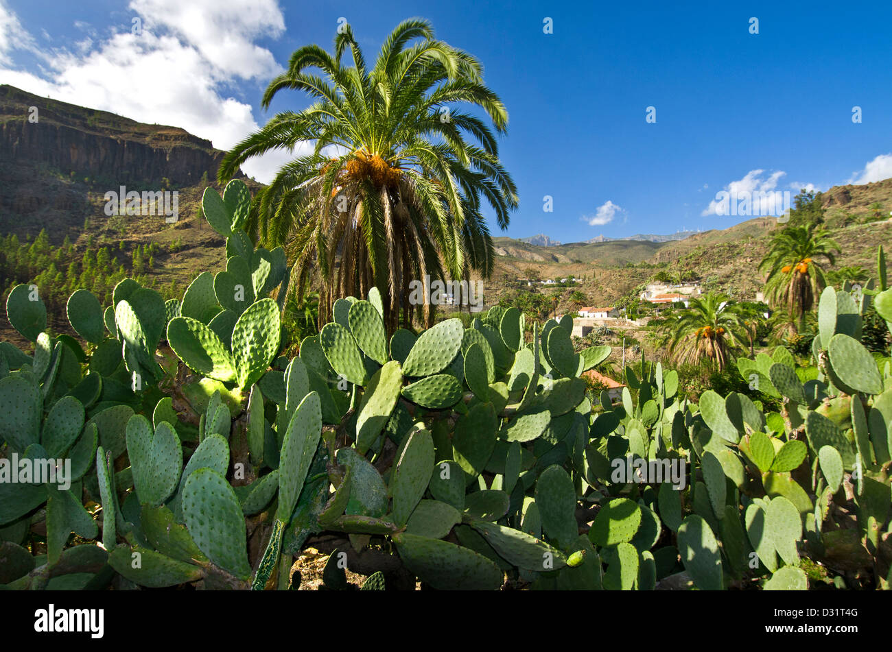 A lush oasis of palm trees and cacti with mountains of central Gran Canaria behind Canary Islands Spain Stock Photo