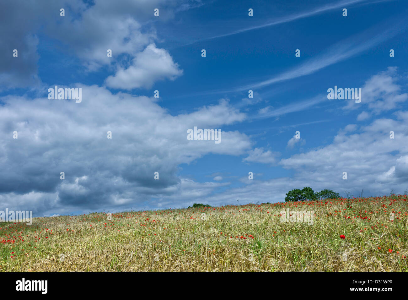 Poppies in a field of wheat on a bright summer day near the town of Malton in north Yorkshire, UK. - Stock Image
