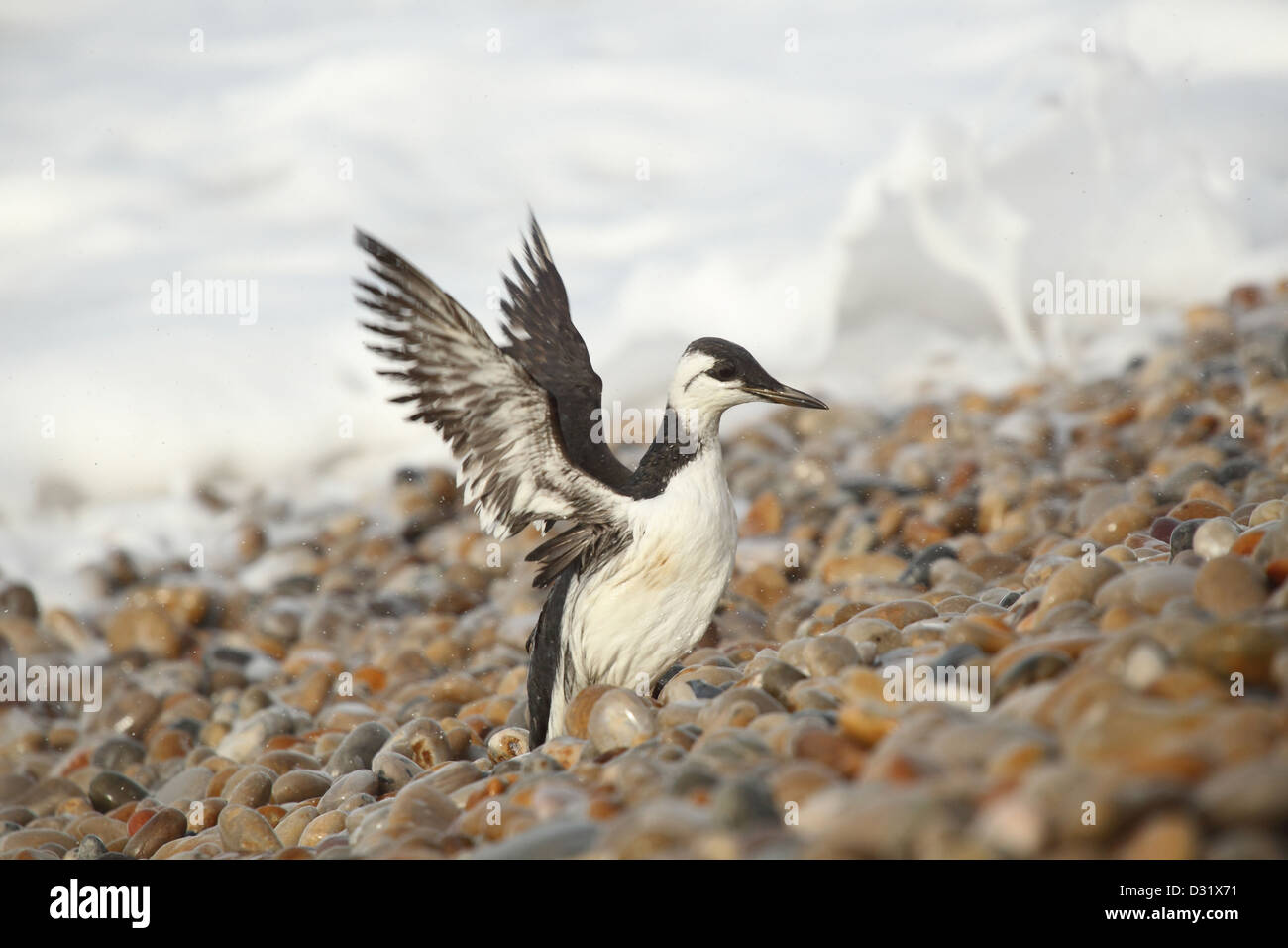Guillemots contaminated with Polyisobutene after pollution incident off the Dorset coast , January / February 2013 - Stock Image