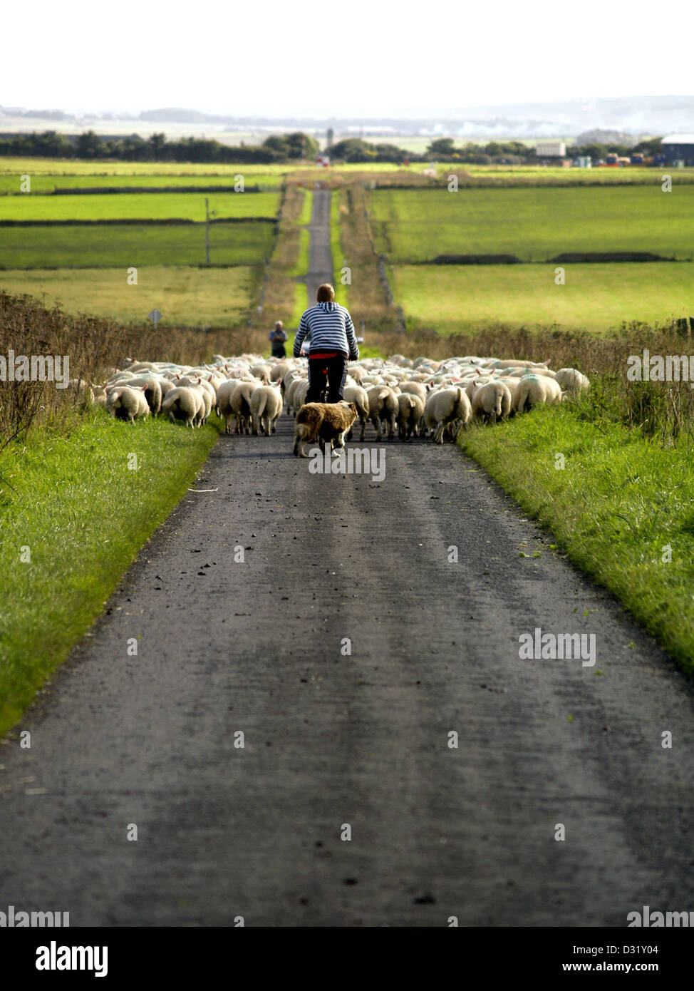Moving the sheep on a road in the Scottish Highlands - Stock Image