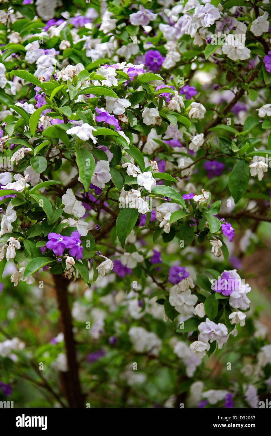 Yesterday, Today and Tomorrow Plant, Brunfelsia pauciflora, Solanaceae. Tsarasaotra Park, Antananarivo, Madagascar. - Stock Image